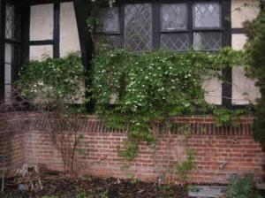 ジングルベルが壁づたいに咲いている