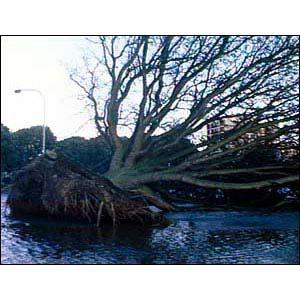 木が根こそぎ