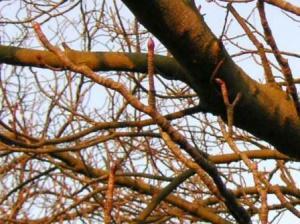 セイヨートチノキの芽