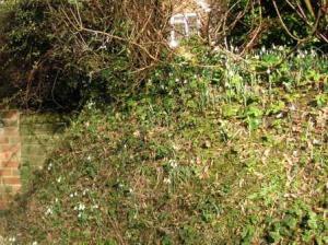 スノードロップが咲き始めている斜面