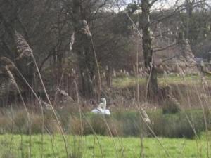 白鳥が遠くの方に見える