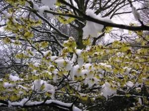 白と黄の対照がきれいなハマメリス