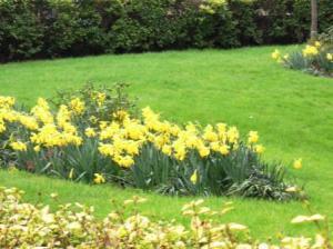 daffodils今が盛り