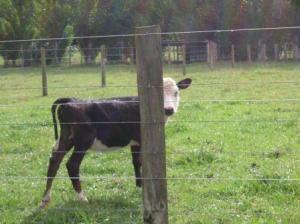 隠れる子牛