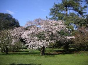 桜咲き誇る今