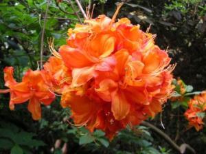 オレンジの石楠花
