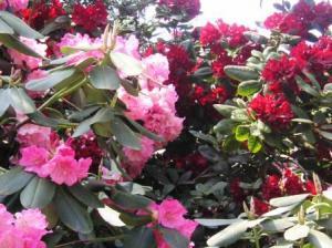 真紅の石楠花