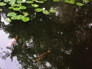 鯉が泳いでいる