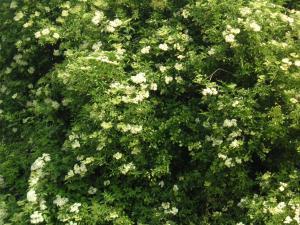 エルダーはこんな花です