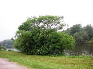 テムズ河畔に生えているエルダー