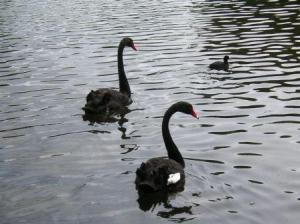 black swans and a small one