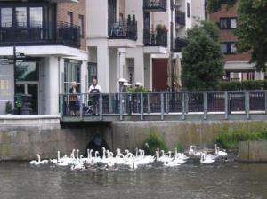 thousands of swans