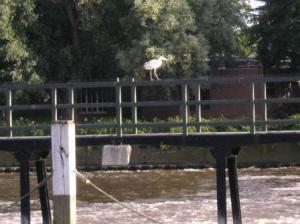heron against the wind