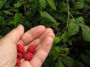 wild raspberries are rare