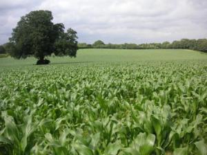 一面のトウモロコシ畑