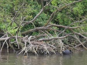 nest of a coot