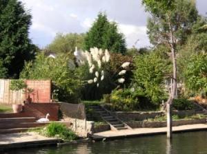 live swan