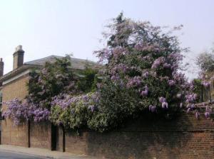 見事な藤の花