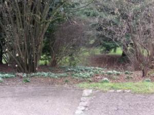 木の下のスノードロップ