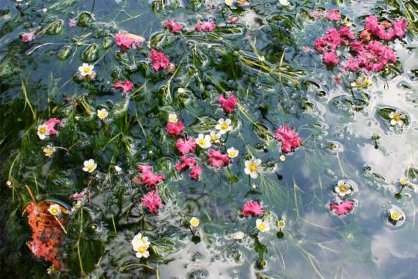 梅花藻と百日紅のコラボ