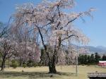 松本城19小 清正公の駒つなぎの桜