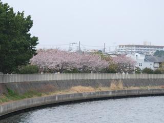 河川敷の桜