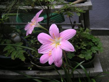 キレイに咲きました。