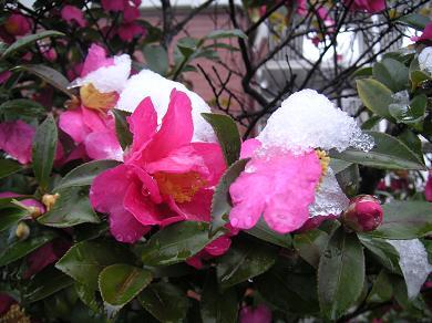 寒椿に雪が。。。。。。。part2