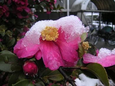 寒椿に雪が。。。。。。。