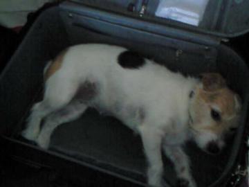 トランク犬
