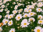 daisy2007.jpg