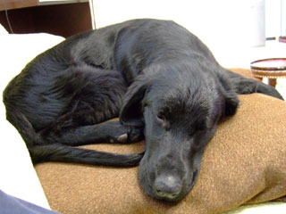 お気に入りのソファでぐっすり眠るルーア君