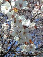090506広島神社桜