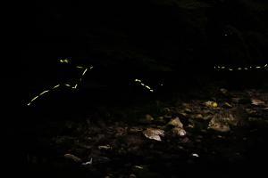 清滝のゲンジボタル01