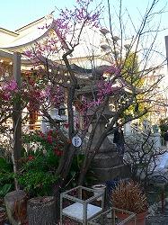 写真キャプション=八坂神社の境内で咲き始めた梅の花