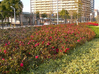 写真キャプション=事務所の近くの公園で満開の花を見せてくれた椿の木