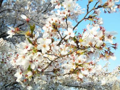 1桜アップ