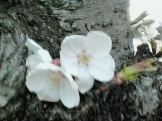『コ○ット』前の桜のアップ♪