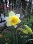 お庭の水仙 春ね~♪