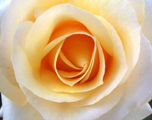 バガテルの薔薇