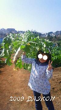 大根収穫2009