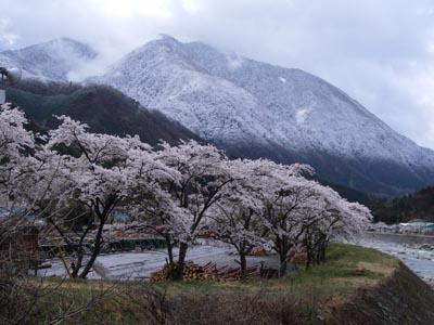 sakura.yuki.jpg