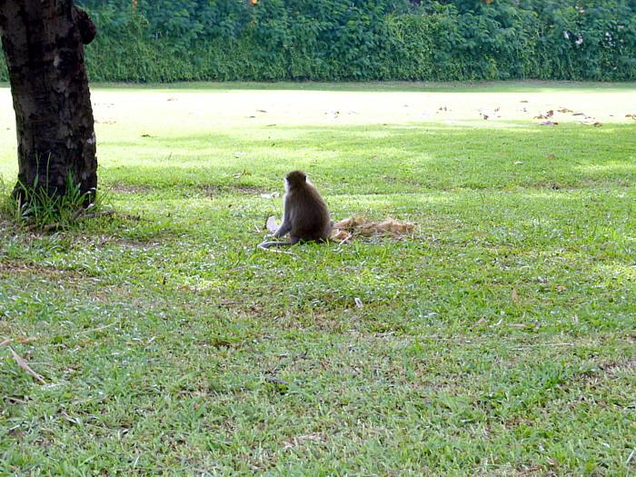 ゴルフ場でプレーを見物する野生の猿