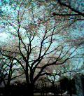 050408_sakura_s.jpg