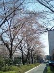 070328_sakura1.jpg