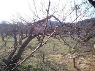 さむ~~い1月の梅