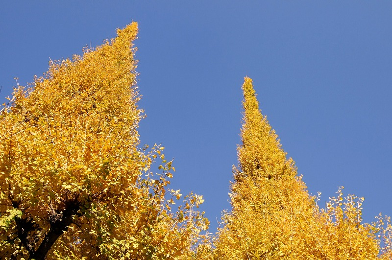 ○ 黄金色のトンネル 東京・神宮外苑 銀杏並木 【2008年11月】