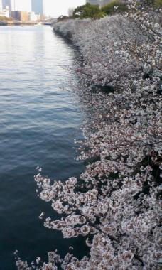 桜ノ宮の桜だ