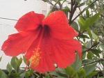 沖縄の赤いハイビスカス