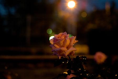 王子の秋バラ-12